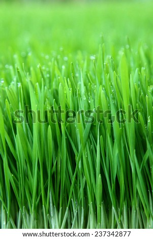 Grass background with water drops ,Fresh green wheat grass - stock photo