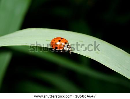 grass blade with asian ladybird - stock photo