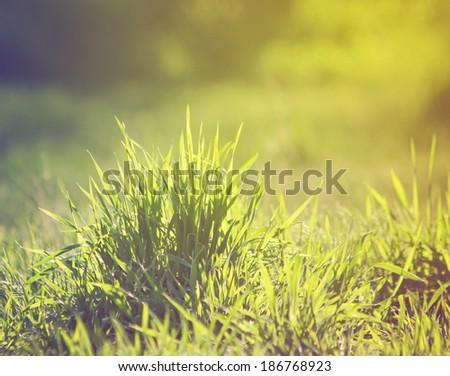 grass blooming in the spring - stock photo