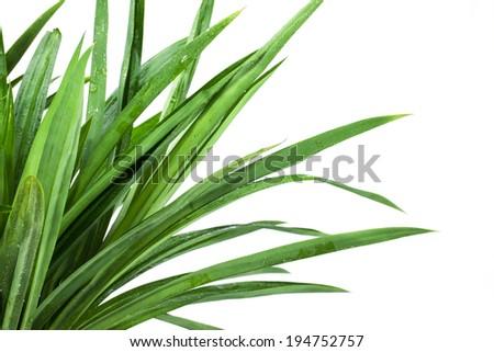 grass bush on white background - stock photo