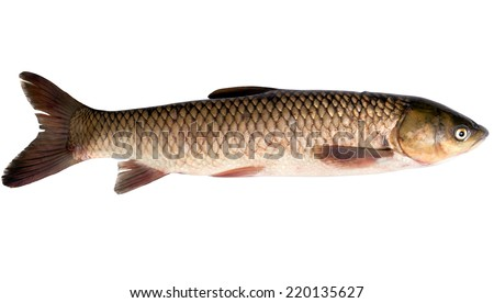 White amur stock photos images pictures shutterstock for White amur fish