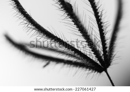 Grass flower and seeds, colored black and white photo. - stock photo