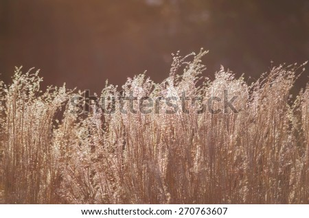 Grass Flower before the sun is getting set background - stock photo