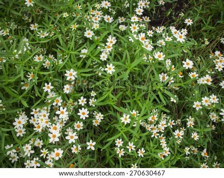 Grass flower little white Daisy - stock photo