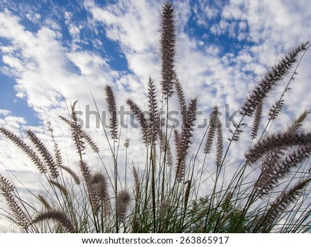 Grass flowers with clouds and blue sky background - stock photo