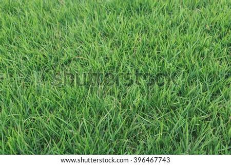 Grass- Green grass texture - stock photo