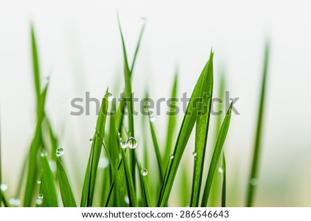 Grass green with dew drops - stock photo