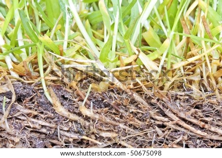 Grass growing in dirt close-up - stock photo