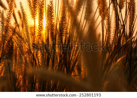 Grass in sunset - stock photo