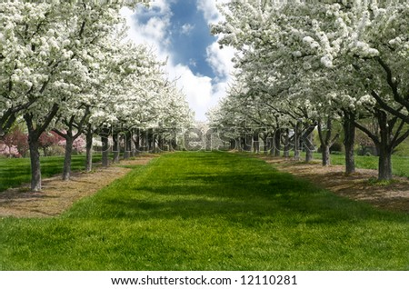 Grass Lane Lined with Apple Trees in Bloom - stock photo