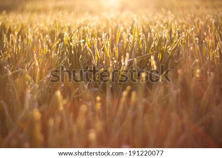 Grass on the sunrise - stock photo