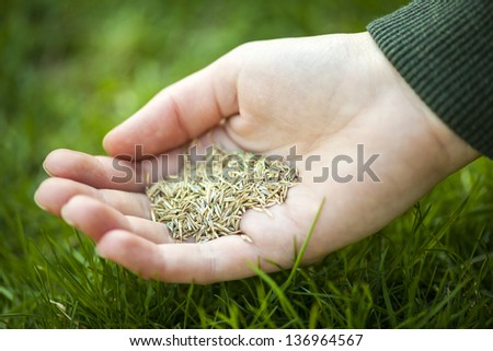 Grass seed for overseeding held in hand over green lawn - stock photo
