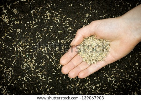 Grass seed held in hand over soil and planted seeds with copy space - stock photo
