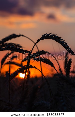 Grass Silhouette Against Sunset, Close up of ripening rye ears. Shallow DOF.  - stock photo