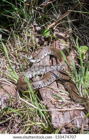 Grass Snake basking in the sun full profile - stock photo