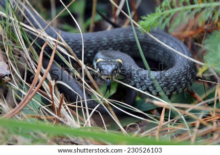 Grass snake closeup in wild nature. Wide frame - stock photo