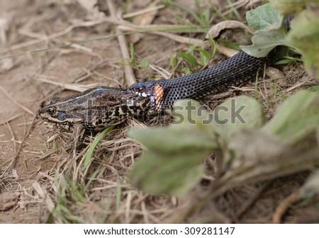 Grass snake eating frog - stock photo