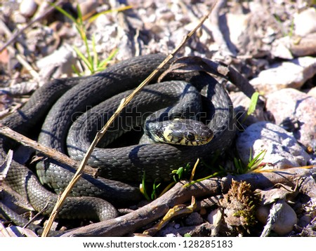 Grass snake in forest - stock photo