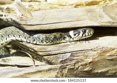 Grass snake in natural habitat / Natrix Natrix - stock photo