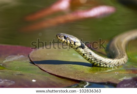 Grass snake - Natrix natrix - stock photo