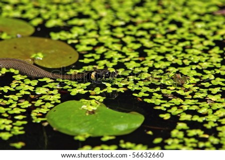 Grass snake (Natrix natrix) on pond with spider - stock photo