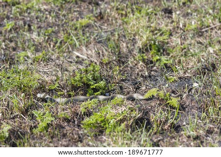Grass snake or ringed snake or Natrix natrix on the ground in spring - stock photo