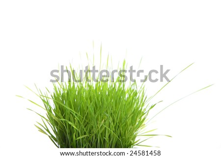 Grass Sprouts isolated in the studio - stock photo
