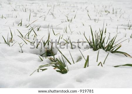 Grass sticking up threw snow. - stock photo