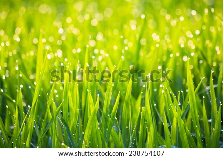 Grass with morning dew in sunshine abstract background - stock photo