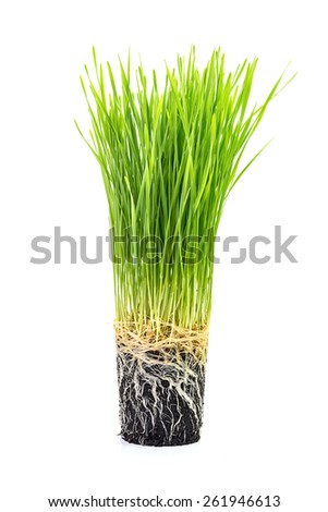 Grass with roots in earth isolated on white - stock photo