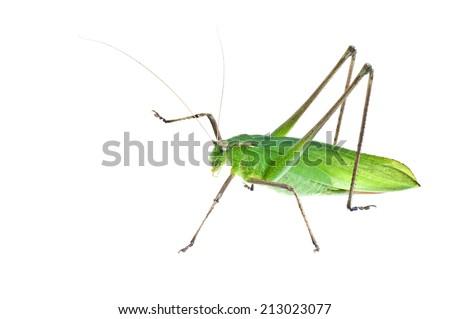 Grasshopper - stock photo