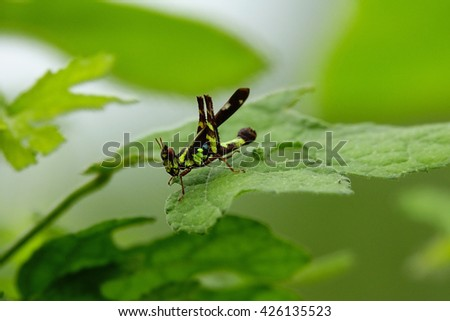 Grasshopper eating green leaves after rain with blurry green leaf background:Close up,select focus with shallow depth of field. - stock photo