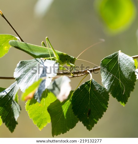 grasshopper in nature. close-up - stock photo