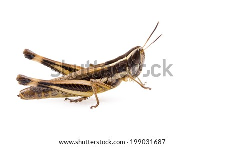 Grasshopper insect isolated on a white background - stock photo