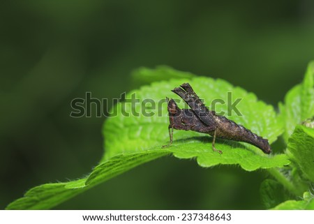 grasshopper Insect on green leaf with clear background - stock photo