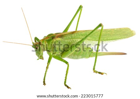 grasshopper isolated - Tettigonia viridissima  - stock photo