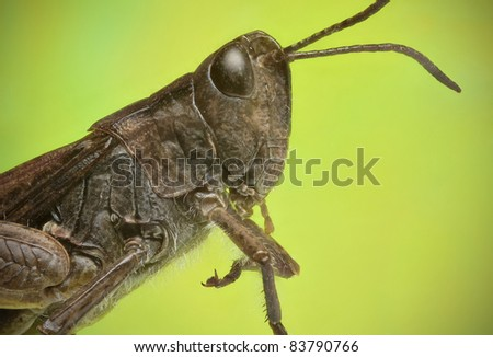 Grasshopper lateral view - stock photo