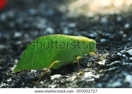 Grasshopper mimics tree leaf - stock photo