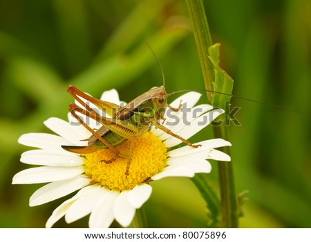 Grasshopper on a camomile flower - stock photo