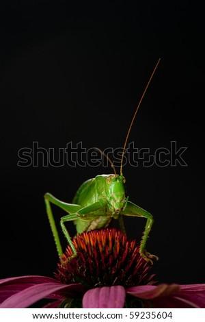 Grasshopper on flower - stock photo