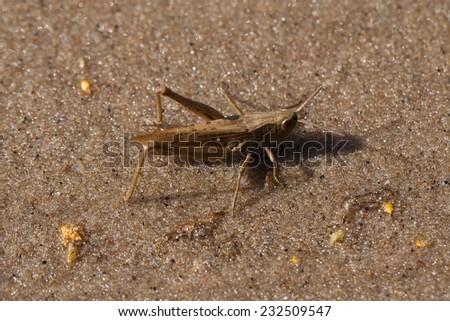 grasshopper on sand - stock photo
