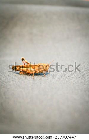 grasshopper on sofa. Macro image of a grasshopper. - stock photo