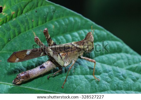 Grasshoppers, insects, insect macro, nature, focus on the eye, blurred background. - stock photo