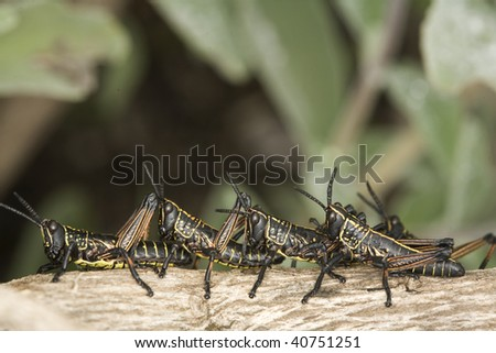 Grasshoppers sitting in a row on a log - stock photo