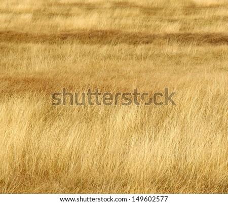 grassland background / texture ; grassland looks like a golden wave  - stock photo