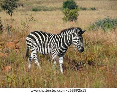 grassland scenery including a zebra in South Africa - stock photo