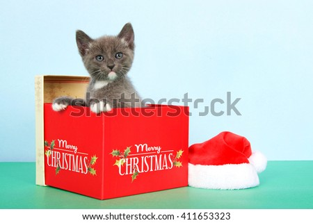 gray and white tabby kitten in a red Christmas box next to a small santa hat on green table with light blue background - stock photo
