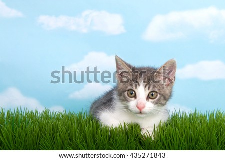 gray and white tabby kitten laying in green grass with blue background white fluffy clouds. - stock photo