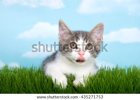 gray and white tabby kitten laying in green grass with blue background white fluffy clouds. tongue sticking out - stock photo