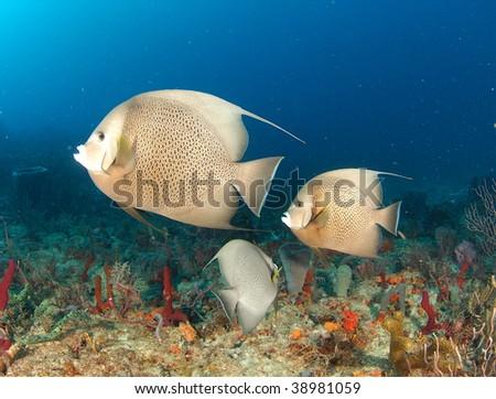Gray Angelfish on the Boynton Reef - stock photo